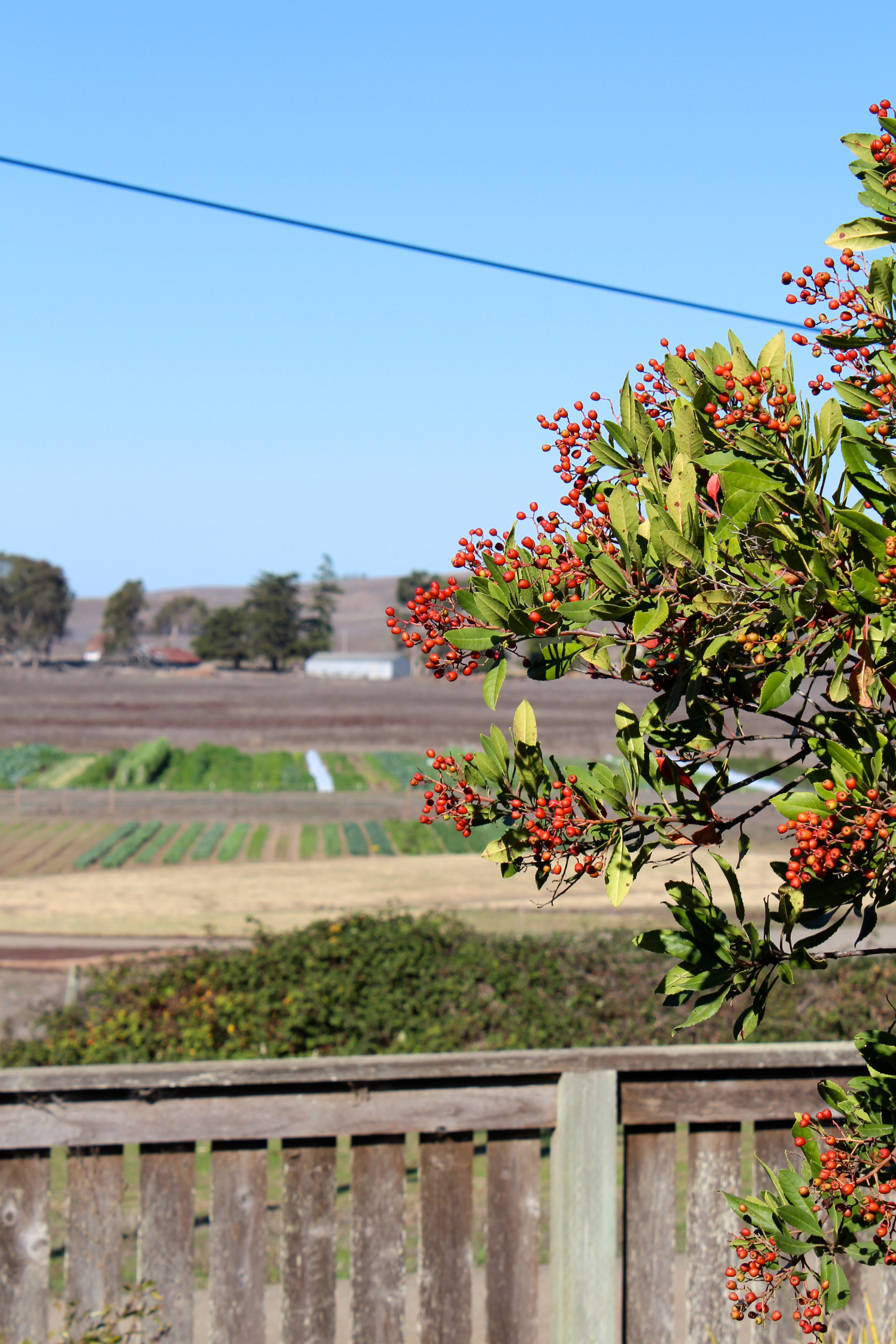 The toyon berries by our house that the birds are loving.
