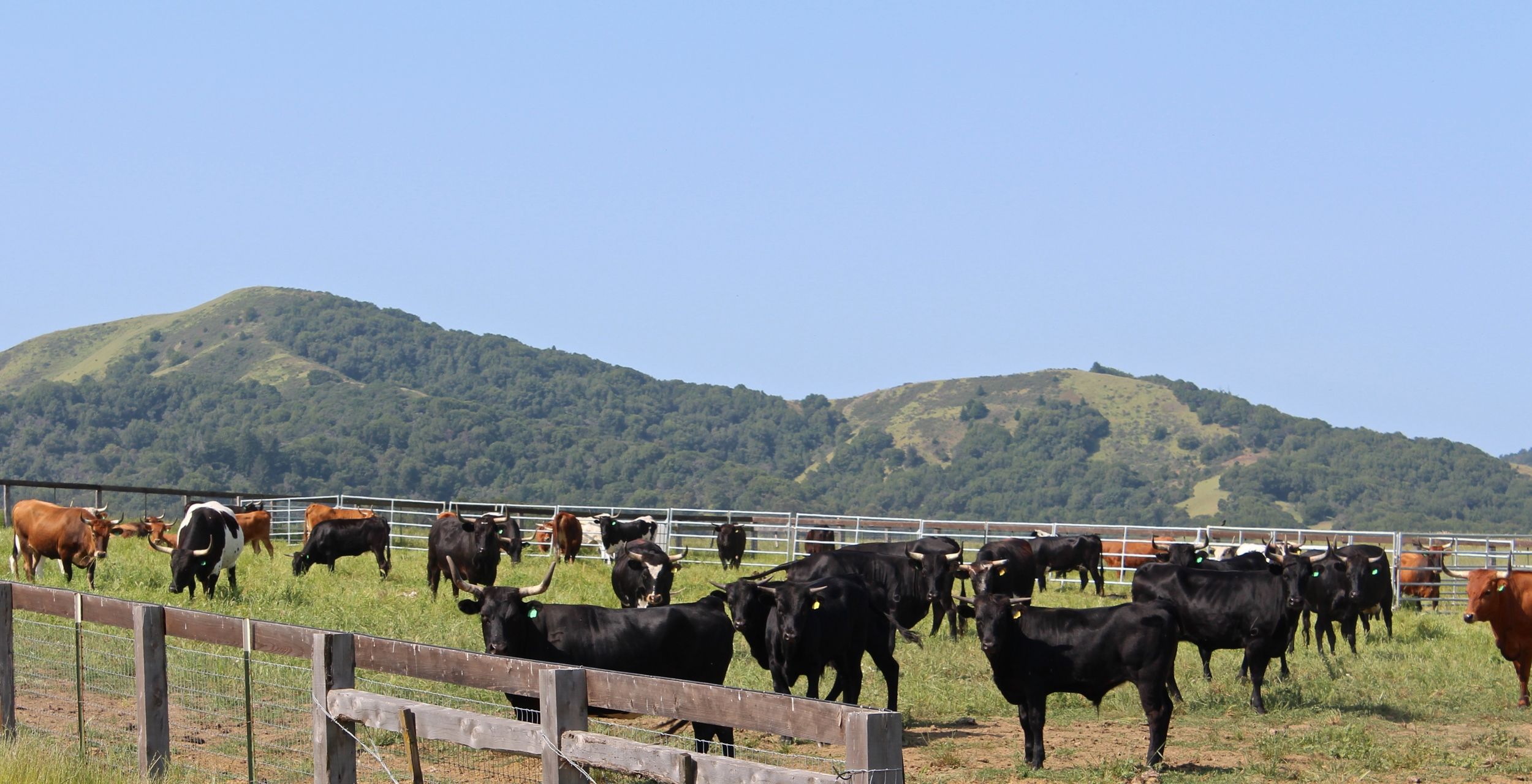 Cows in the corral