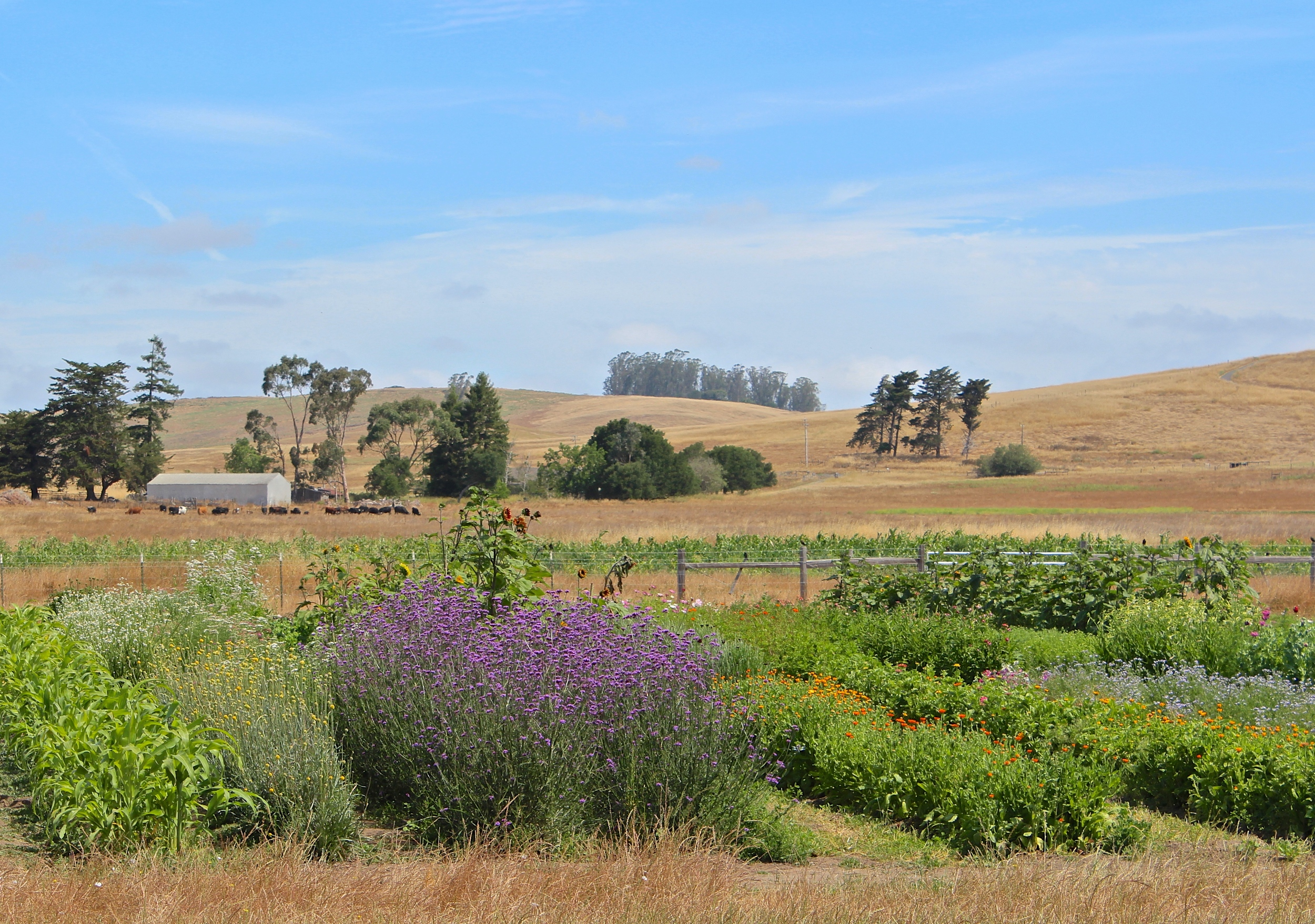 The layers on the farm: flowers, dry corn, cows, and grass