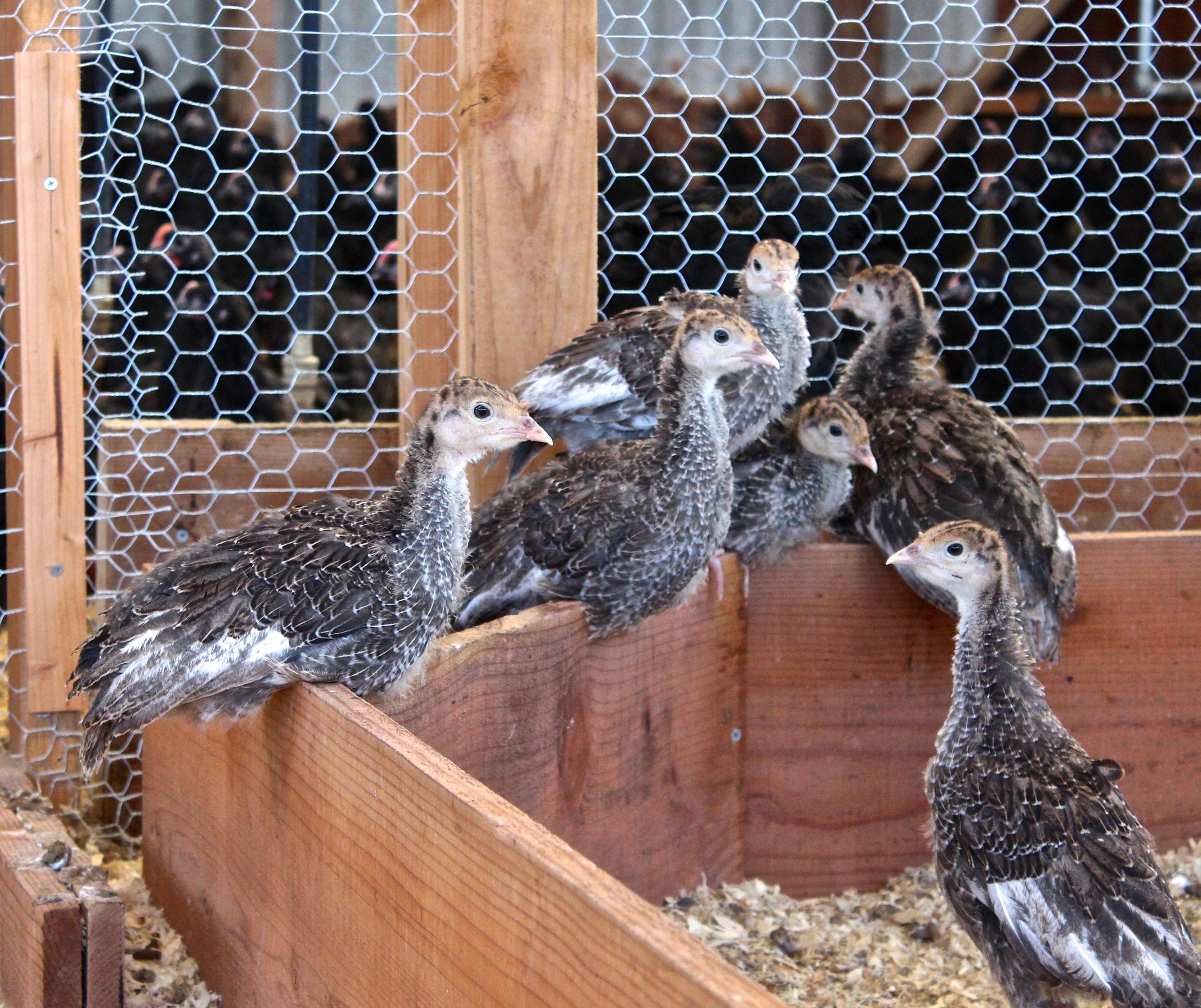Turkeys resting