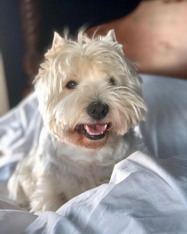 Bosco woke me up this morning. #westie #dogsofinstagram #pup #westhighlandwhiteterrier