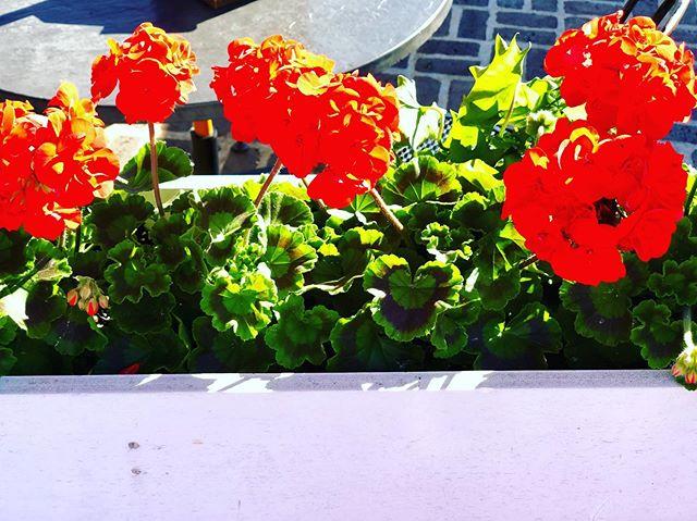 Summer #summer #geranium #flower #flowerbox #maine