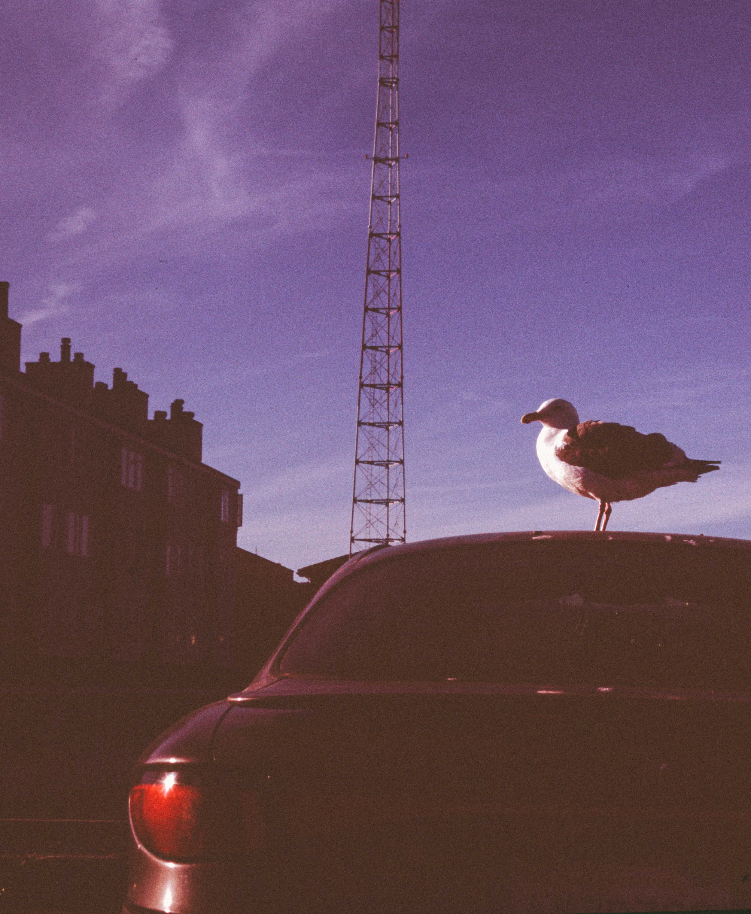 Seagull on Car.jpg