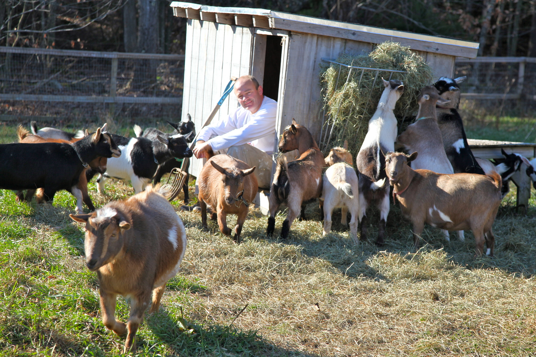 Sunflower Farm Creamery goat herd feeding