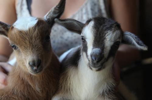 Goats for Sale — Sunflower Farm Creamery