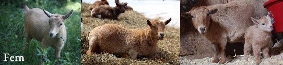 Our Herd — Sunflower Farm Creamery