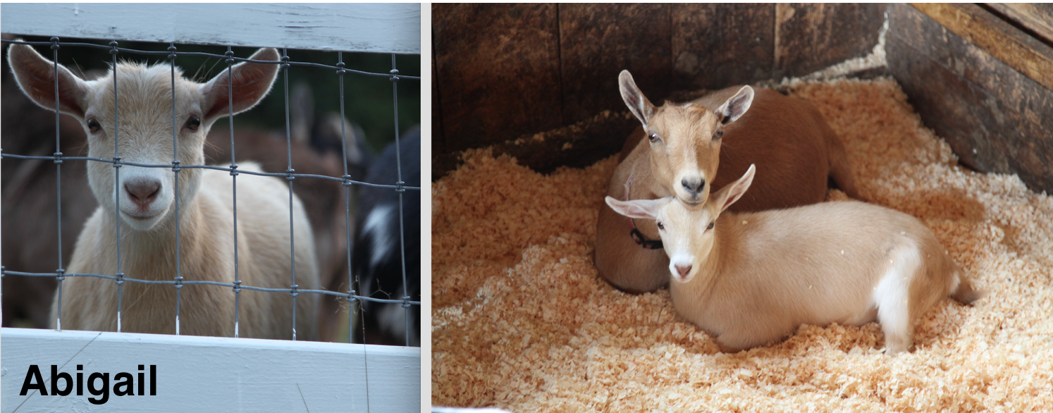 Abigail is Fern's doeling and is the sweetest goat and a great milker!
