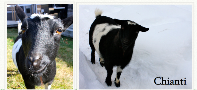 Chianti • Born 9/1/2006 • Herd Name Old Mountain Farm • Sweet shy, one of our oldest goats.
