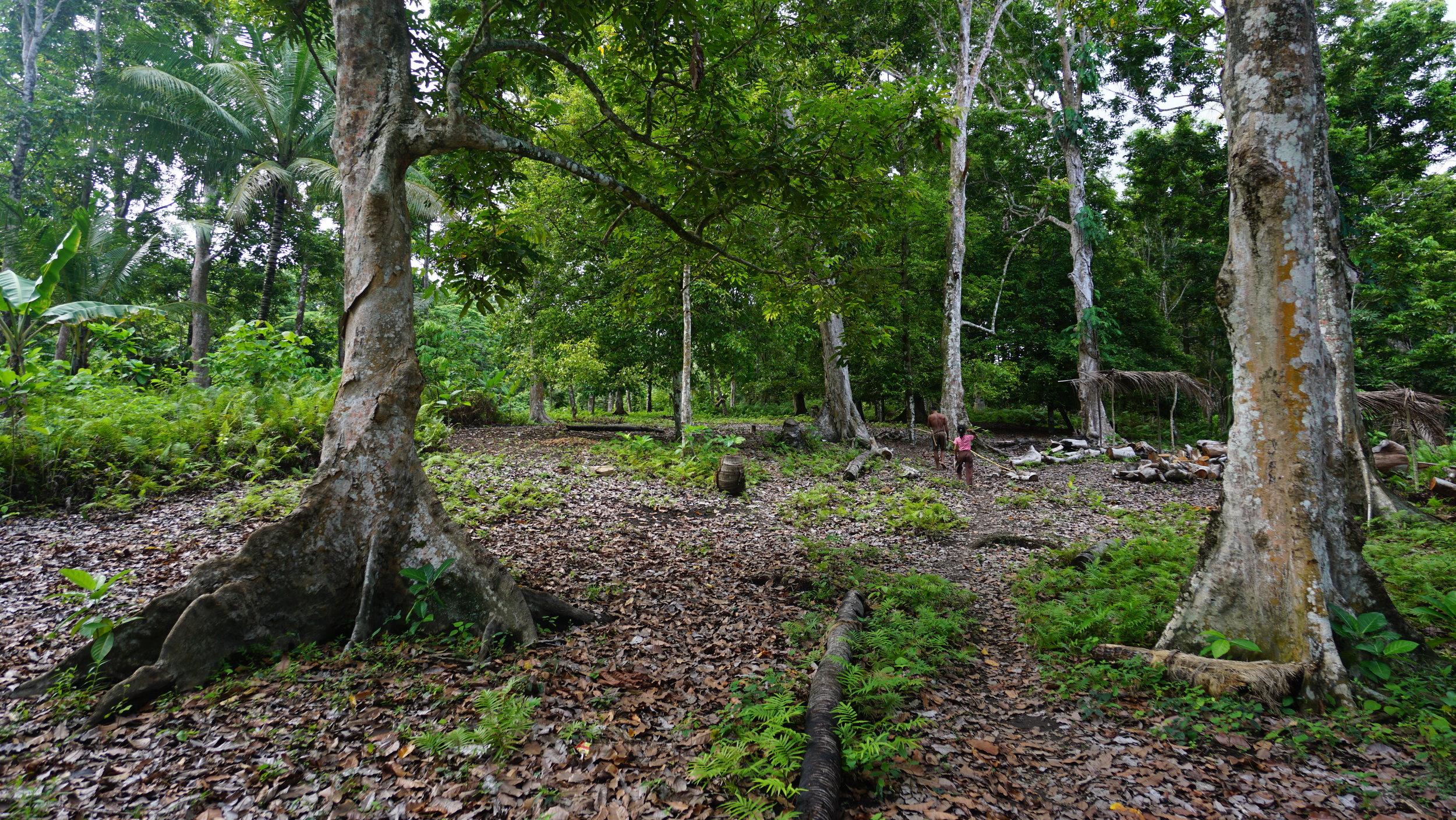 Wild Kenari Trees Grown on Fertile Volcanic Soil
