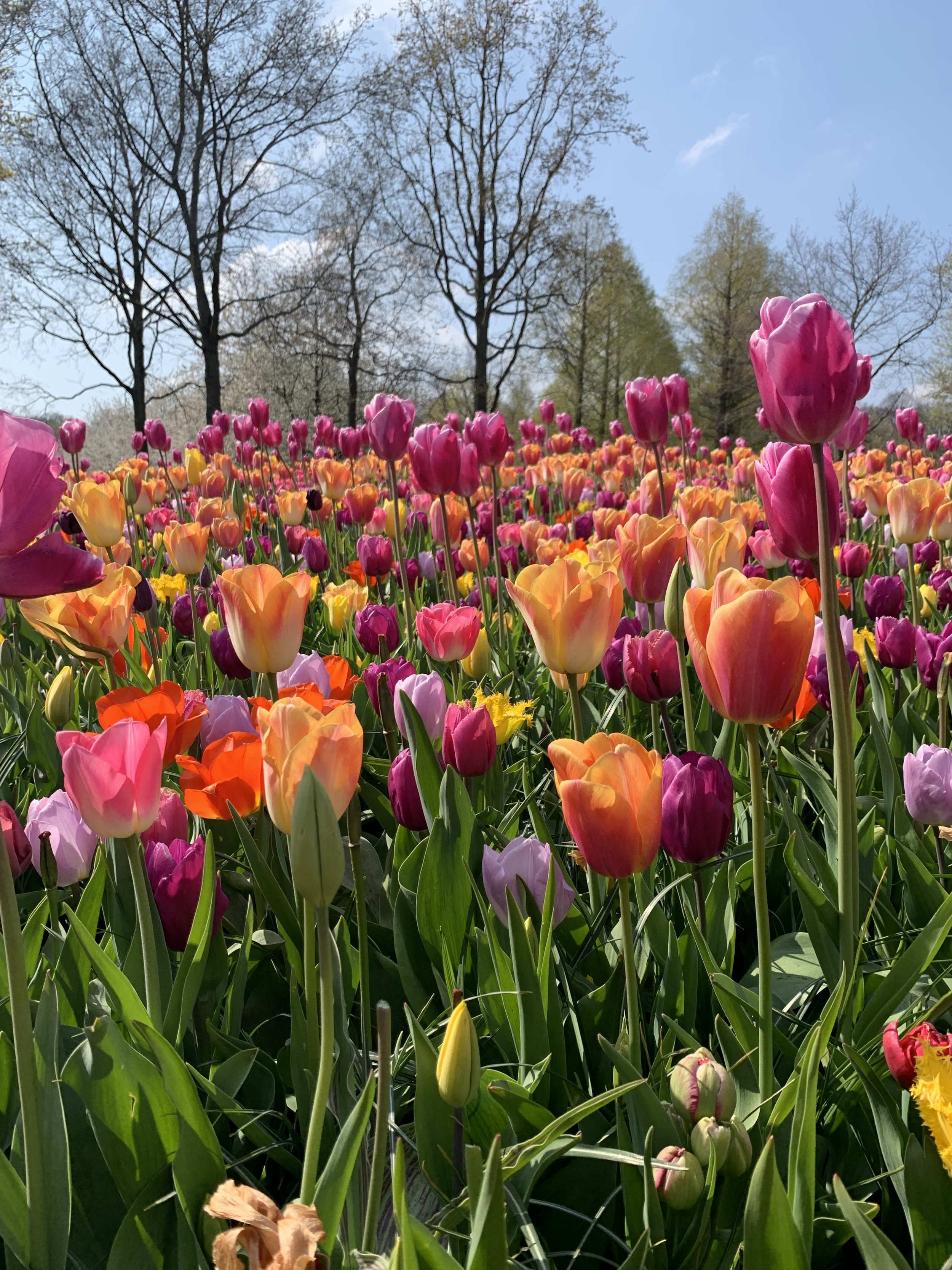 Photo from my own collection. Keukenhof. April 2019