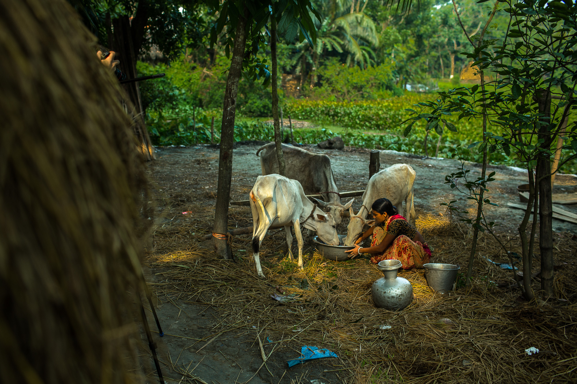 Taroni and his wife start each day tending to their cows.