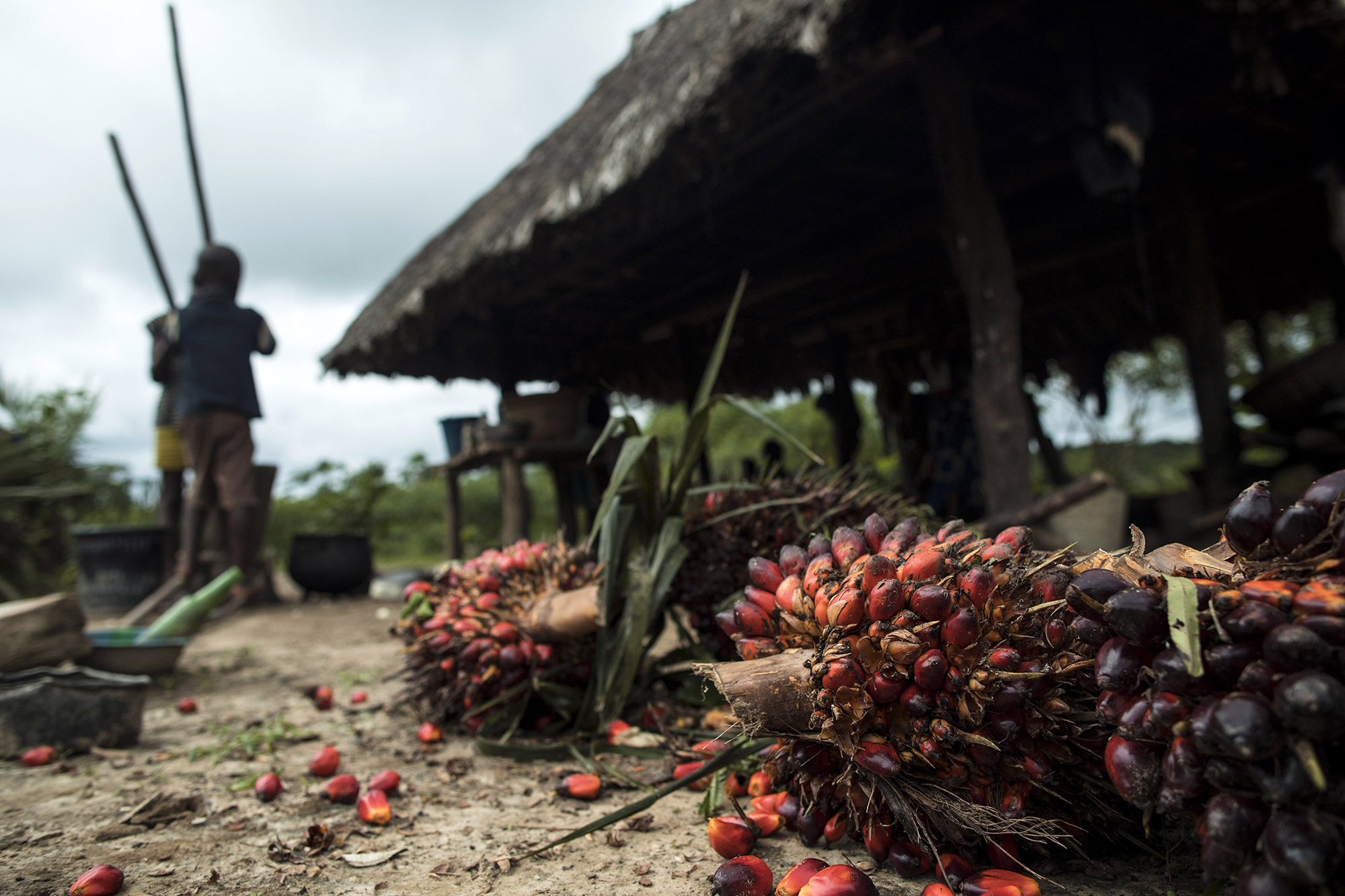 Fruits from palm trees lie in front of Garmondah Banwon's kitchen in Blayah Town. Banwon is an elder in the the Jogbahn Clan. The Jogbahn Clan fought against the British-owned company Equatorial Palm Oil (EPO) when they tried to take over their land in 2013. The people in the community depend on the land for their livelihoods. The Sustainable Development Institute (SDI) started to help the community by submitting a formal complaint to the to the Roundtable on Sustainable Palm Oil (RSPO). SDI taught the clan about land rights and resisting with non-violence. THE RSPO determined that the land EPO was using belonged to the clan. SGI trained the community how to map their land and boundaries were created that EPO accepted not to cross.Photo by Sarah Grile.
