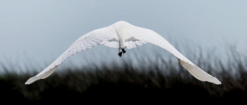 Egret by Francesca Scalpi, Photographer