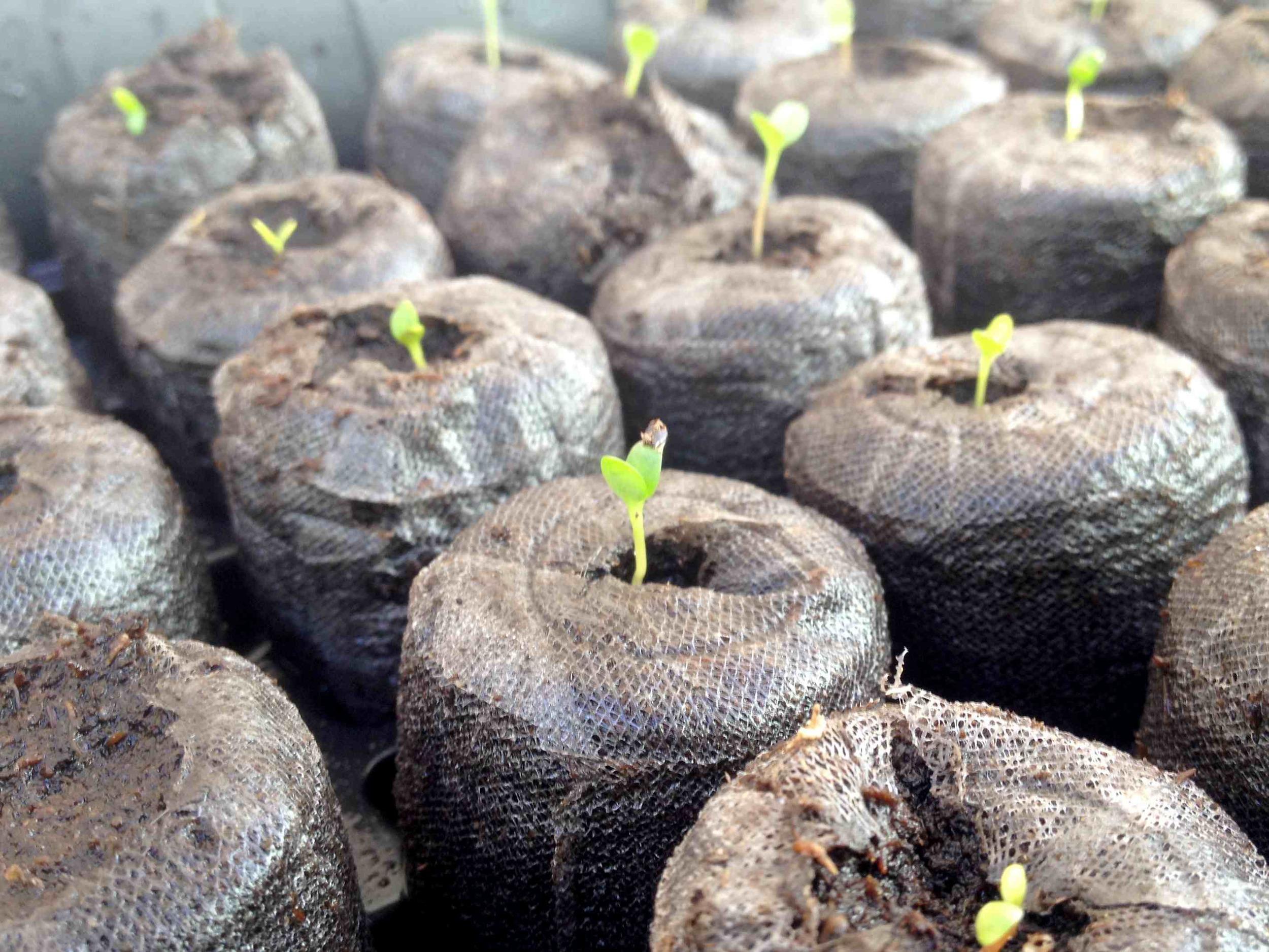 Indigo seedlings emerging from peat pellets.