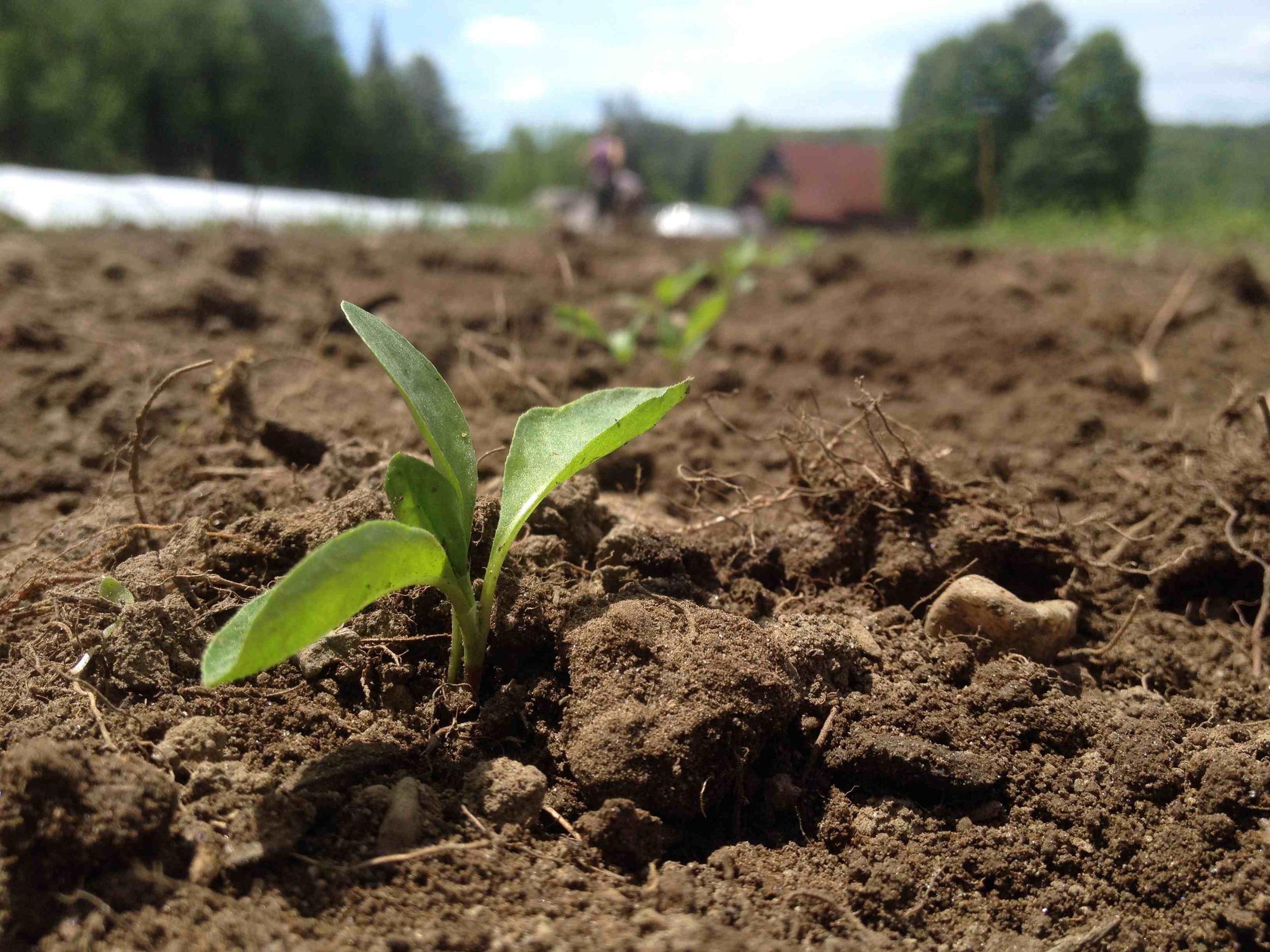 Indigo seedlings planted in rows.