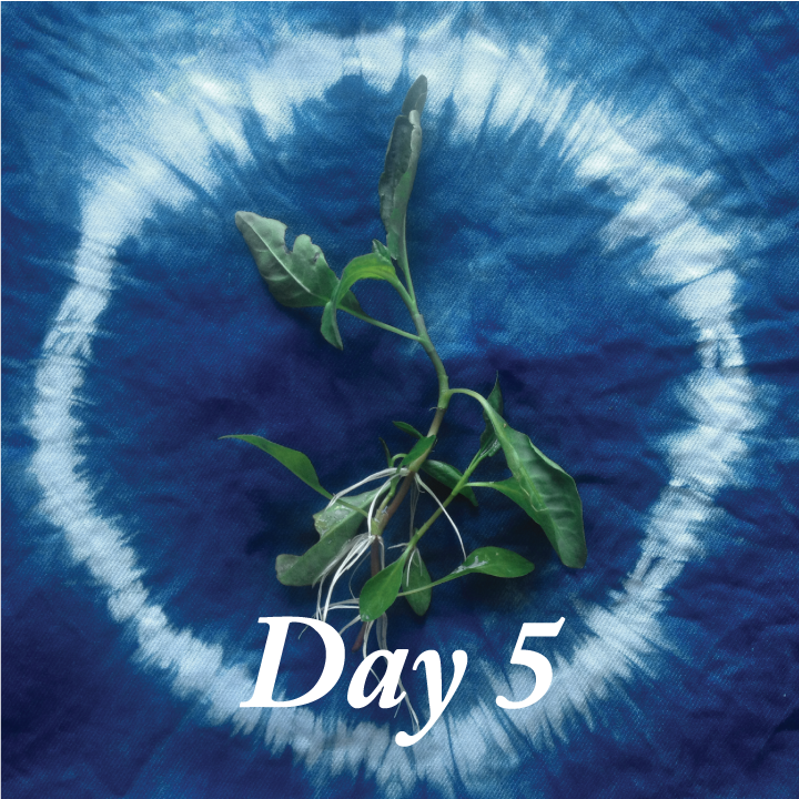 day five indigo rooting