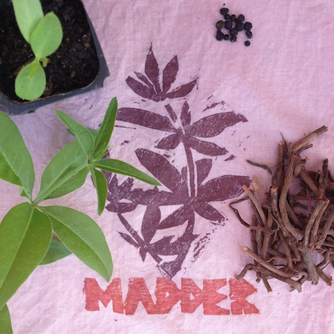 madder seed plant root and print