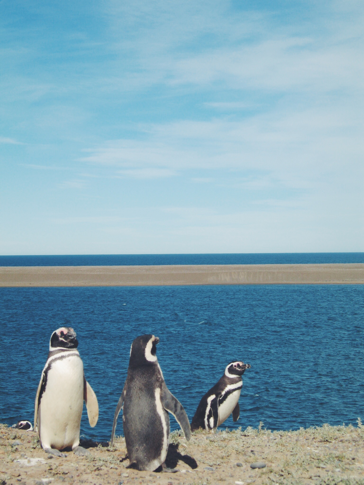 Magellanic Penguins Chillin'