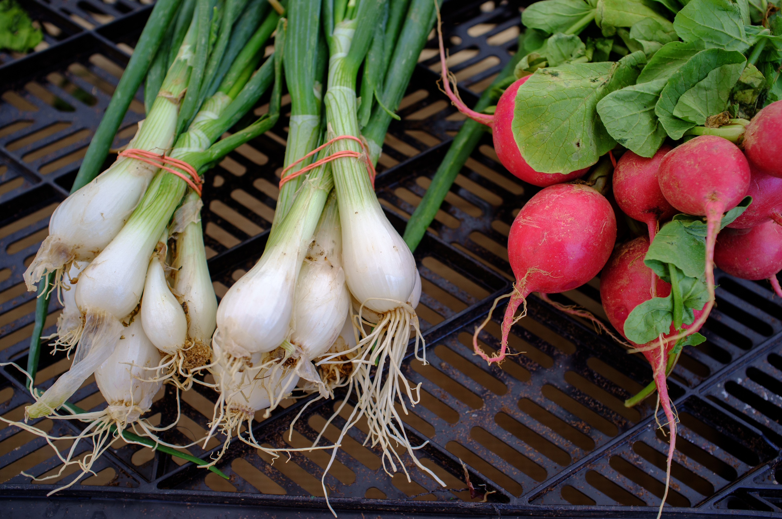 Spring Onions and Radishes at Jersey Farm Produce