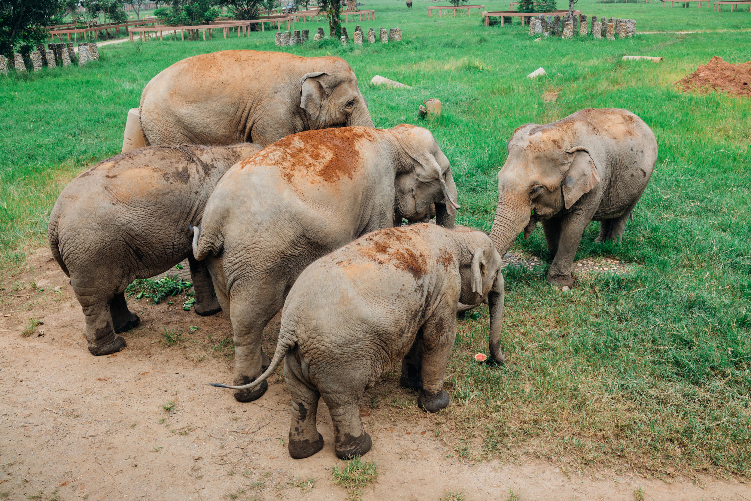 A litter of rescued elephants snacking on watermelons