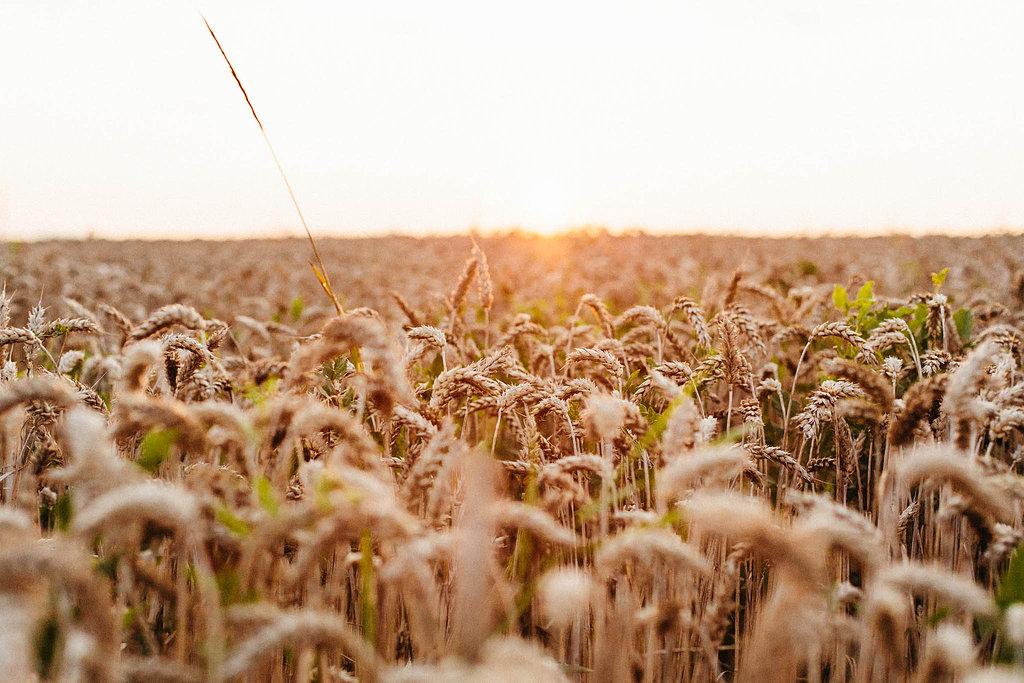 Wheat fields as far as the eye can see!