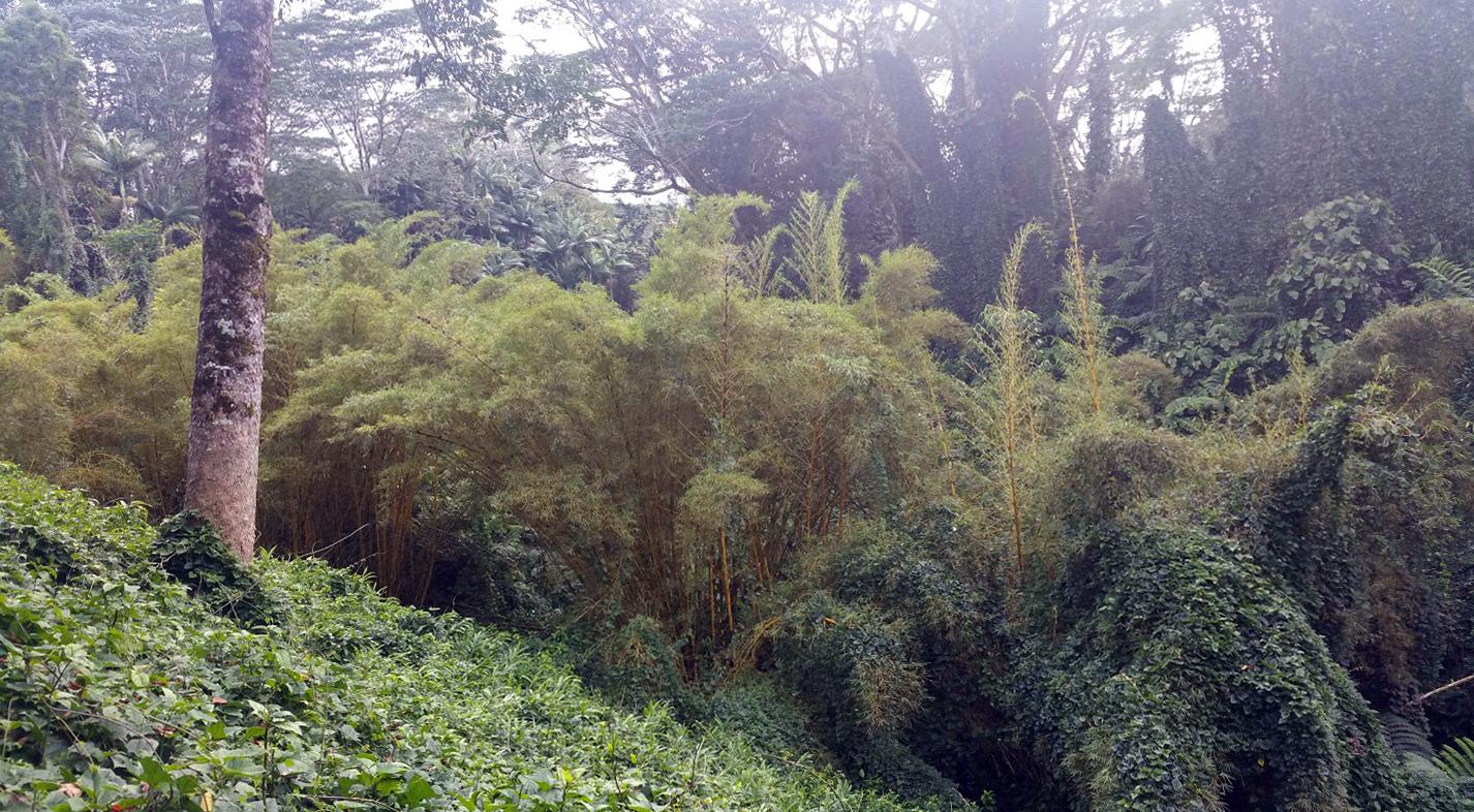 Bamboo Forest in the Rain, Hamakua Coast