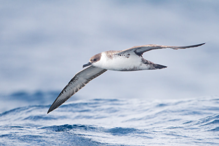 A Shearwater glides over the open ocean. Pic By John Harrison
