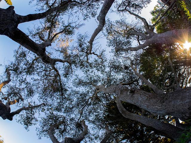 Backyard Oak Tree