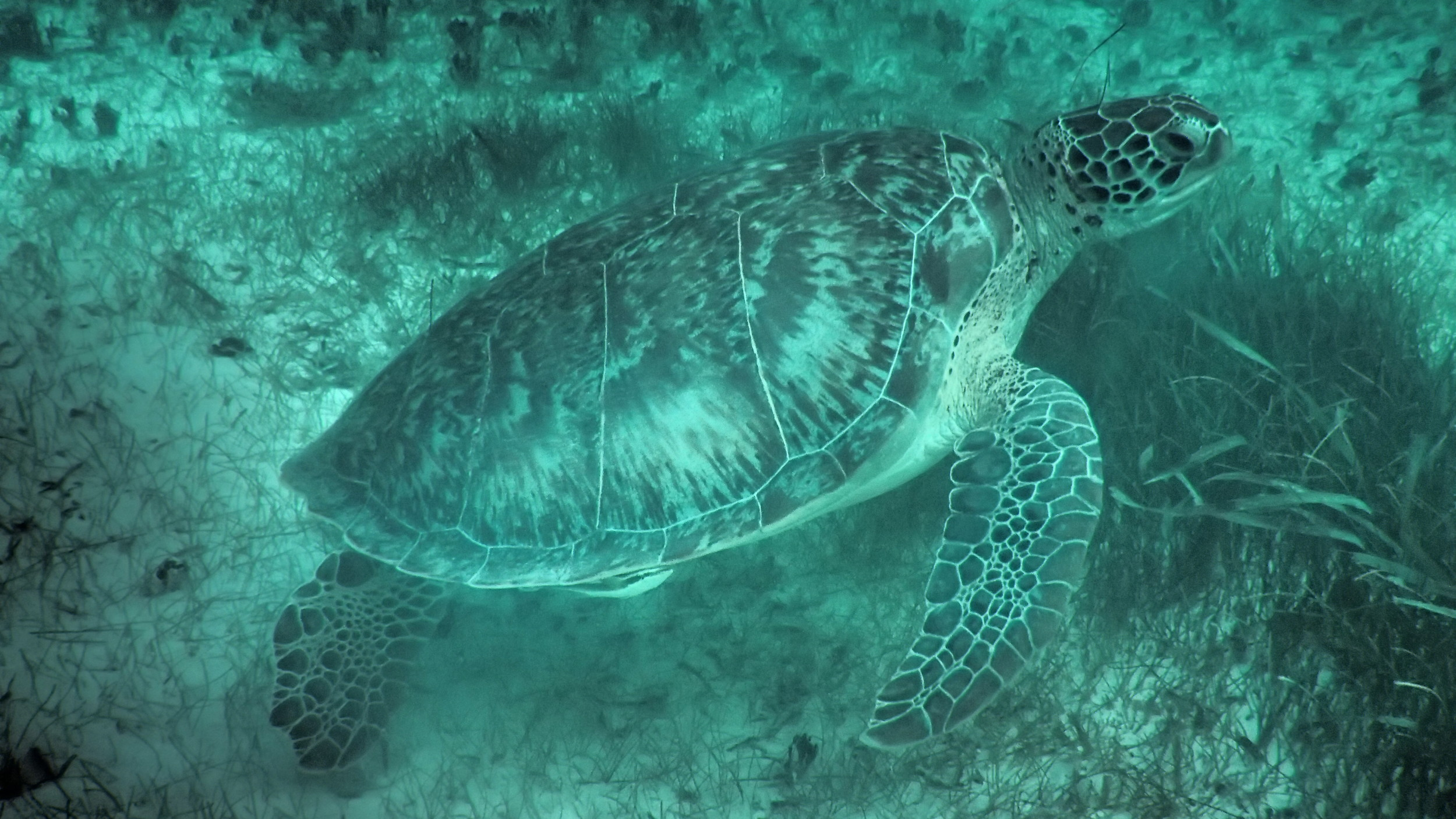 A gorgeous sea turtle that I had the fortune of swimming with this morning in Akumal!
