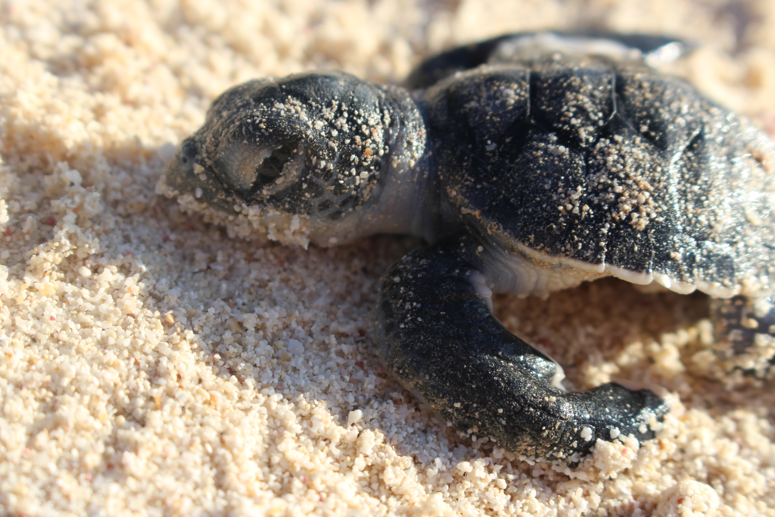 The last moments of life for this baby sea turtle in Akumal.