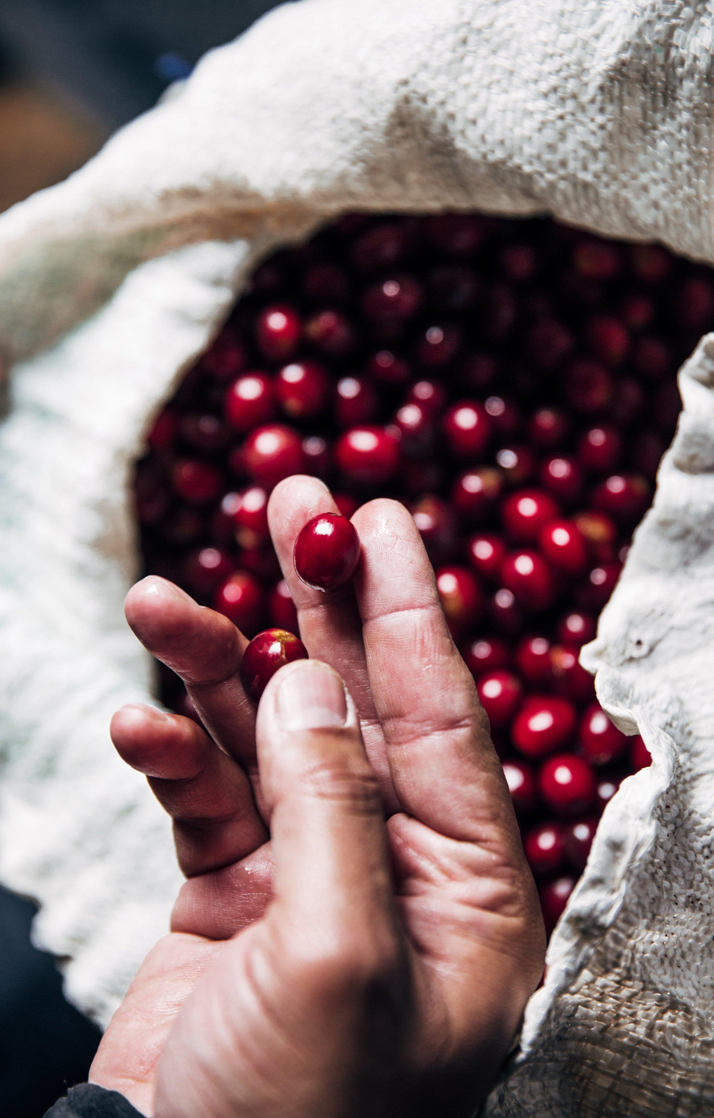 hand-holding-freshly-picked-coffee_4460x4460.jpg