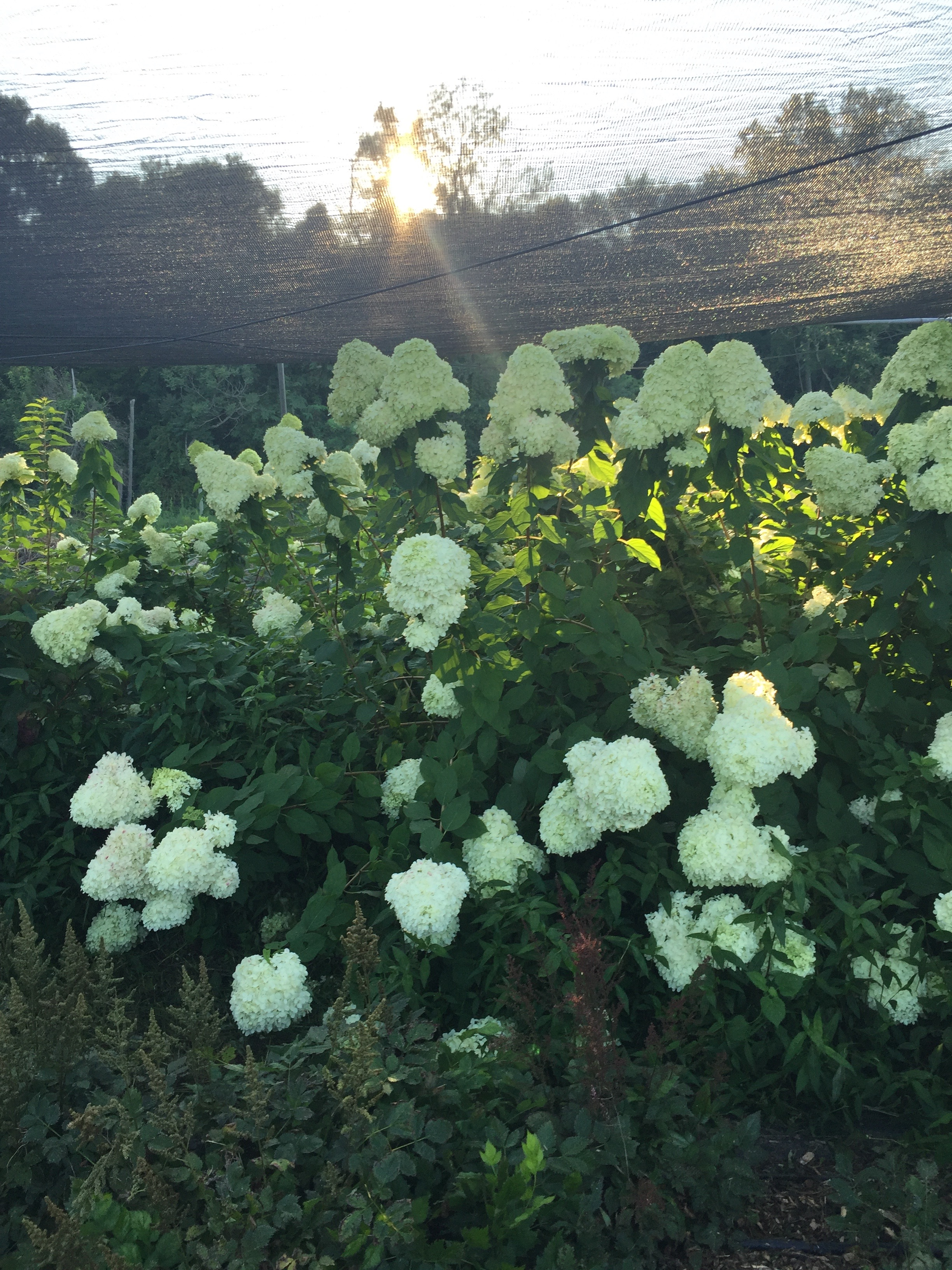 Hydrangea under shade cover