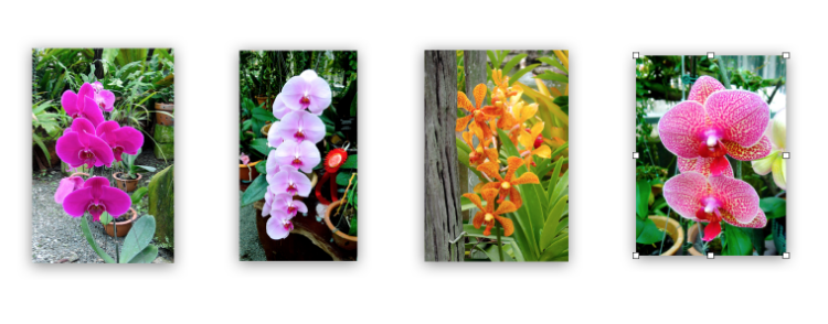 Brilliant splashes of vibrant colors - Orchids of every description raised in an orchid garden in downtown Kuching.