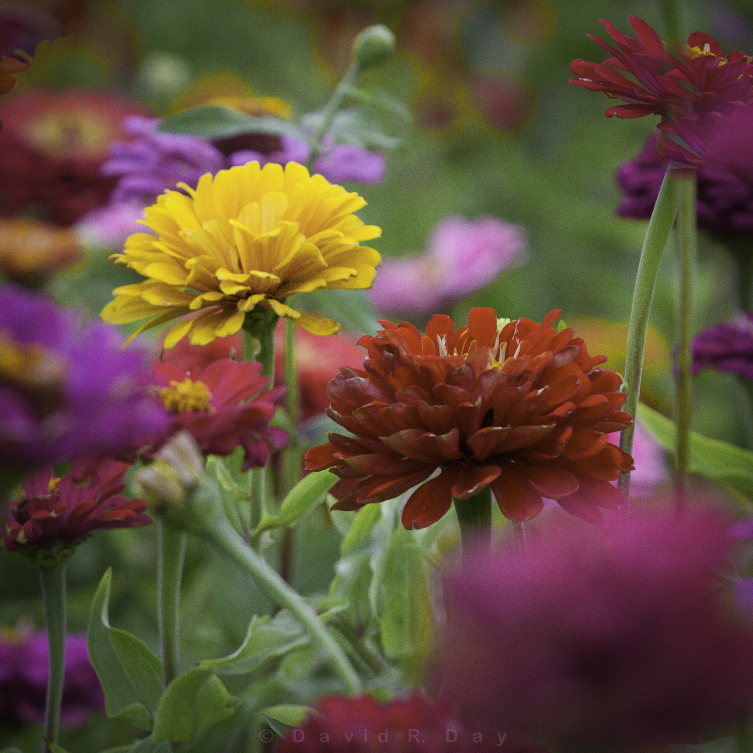 """The Dance of the Zinnias"""