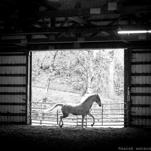 Fritz getting his daily excersize in the Sound Equine Option riding and training arena.