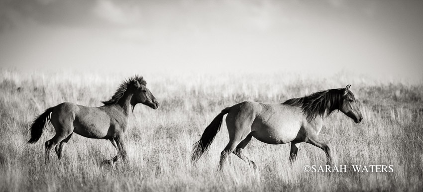 Follow, Wild Kiger Mustangs, Steens Mountains, Oregon