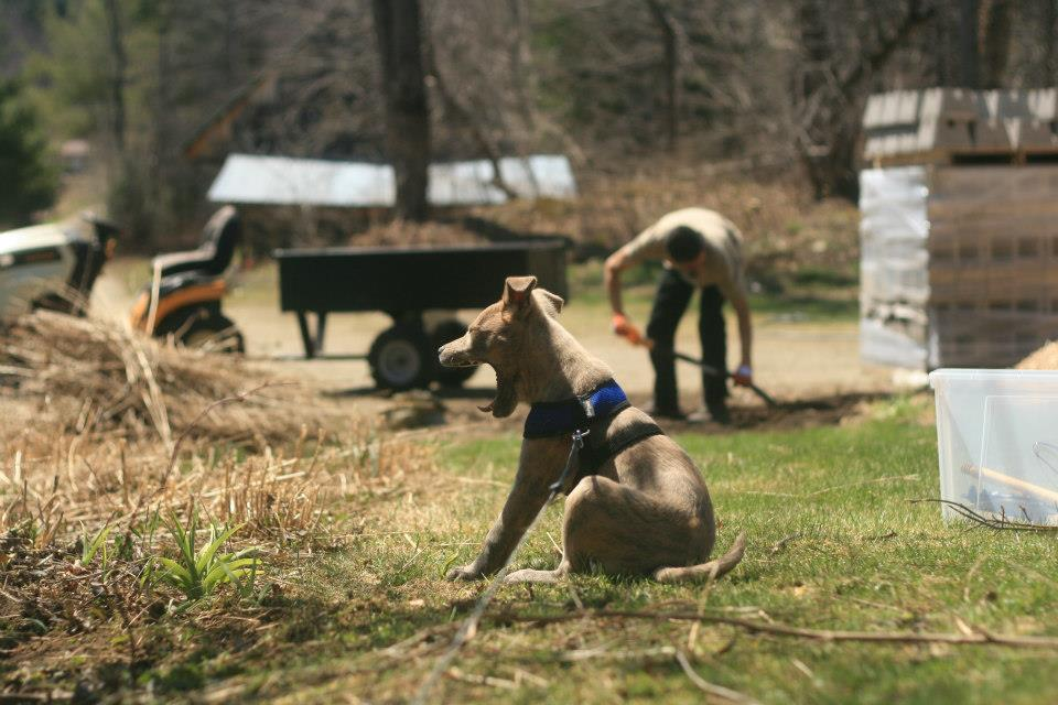 Dylan Thomas, a puppy we adopted from the Central Vermont Humane Society, yawns while we work on our gardens.
