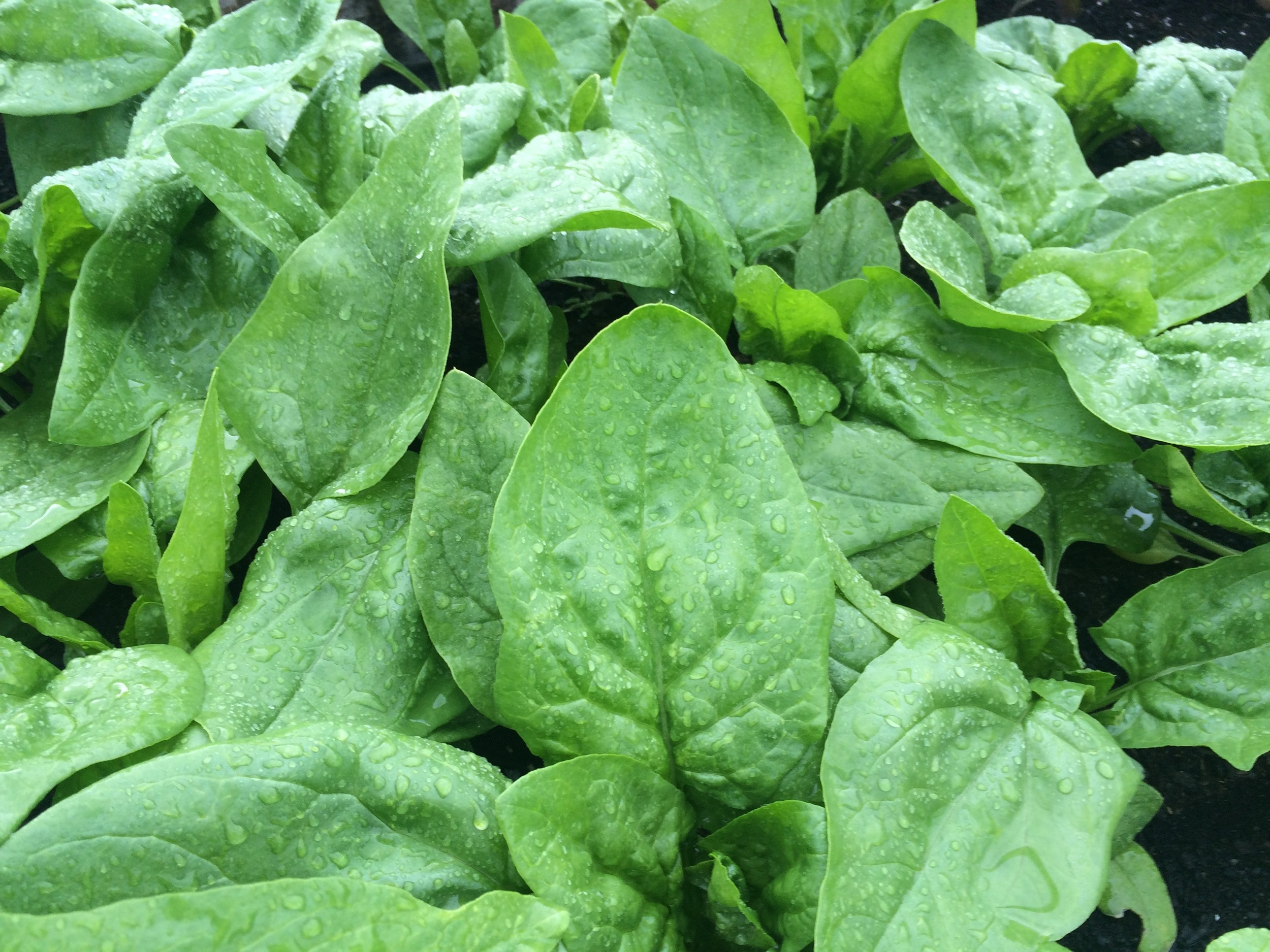 This year's crop of spinach