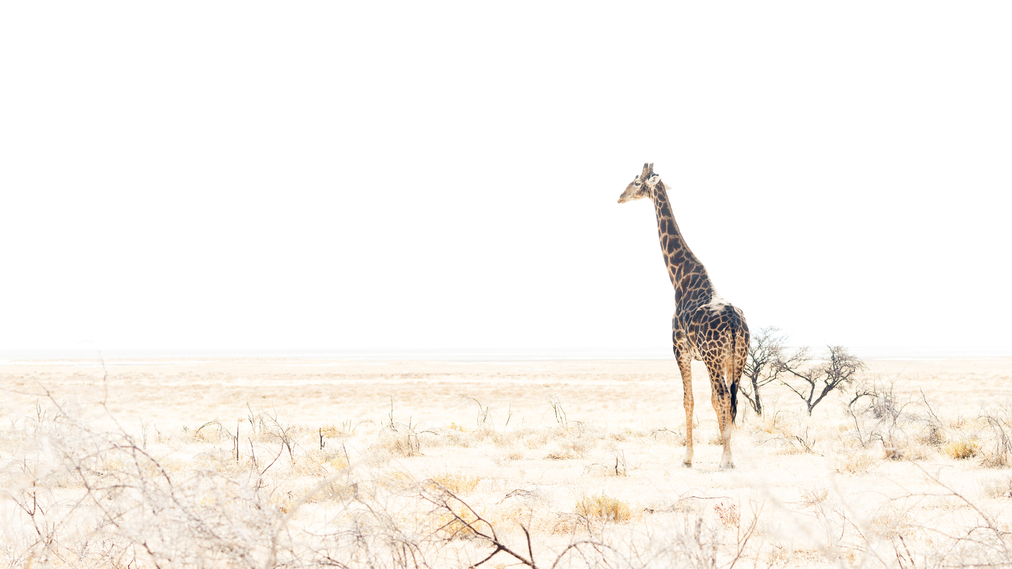 Giraffe standing at midday against the stark white background of the Etosha Pan