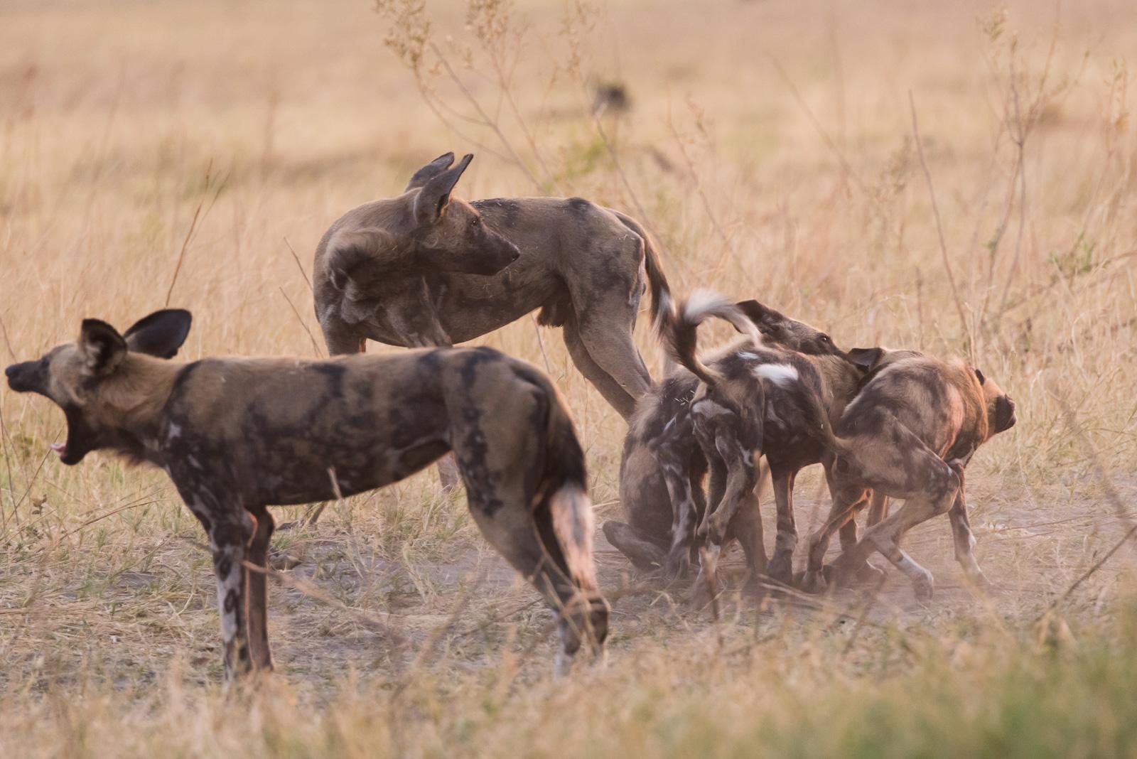Wild Dogs Wrestling