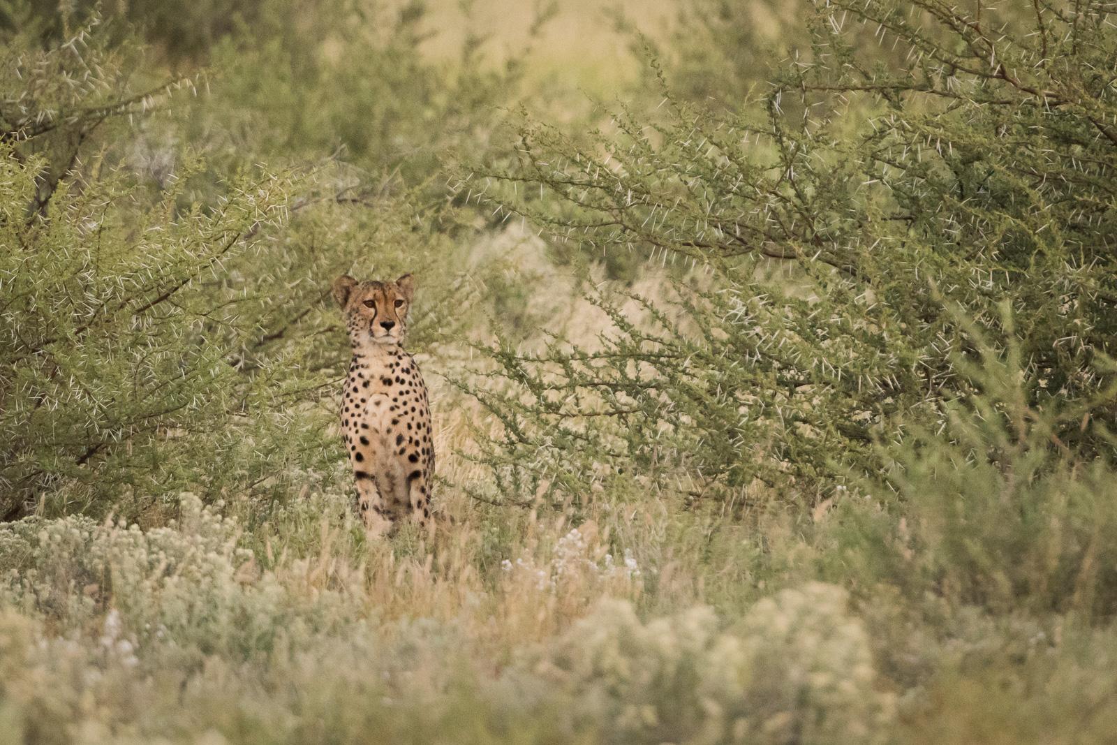 Cheetah CKGR