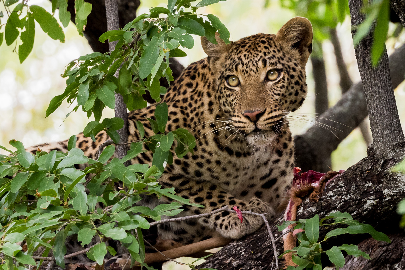 Another once in a lifetime sighting of a Leopard in the Okavango Delta, Botswana