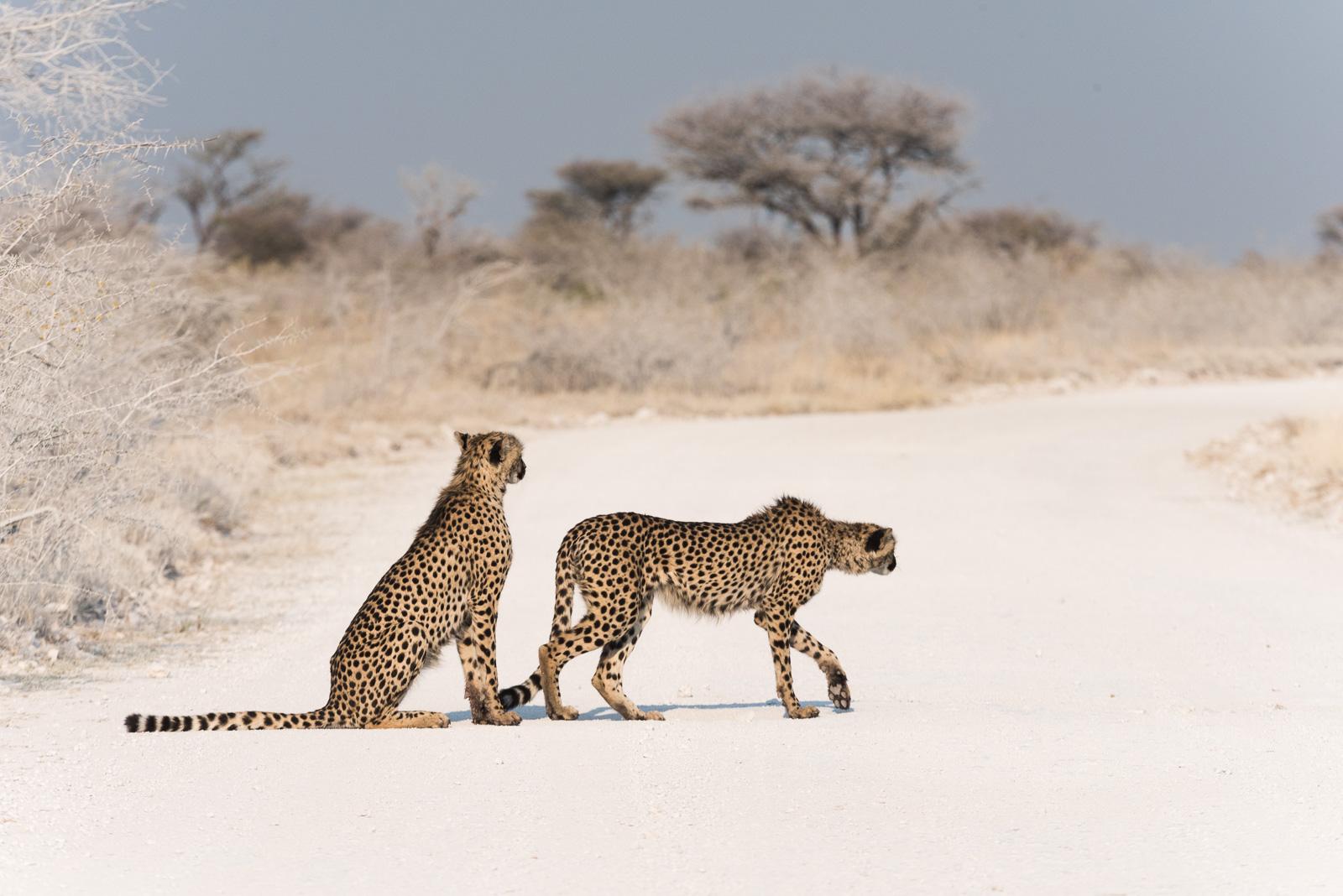 Cheetah Coalition