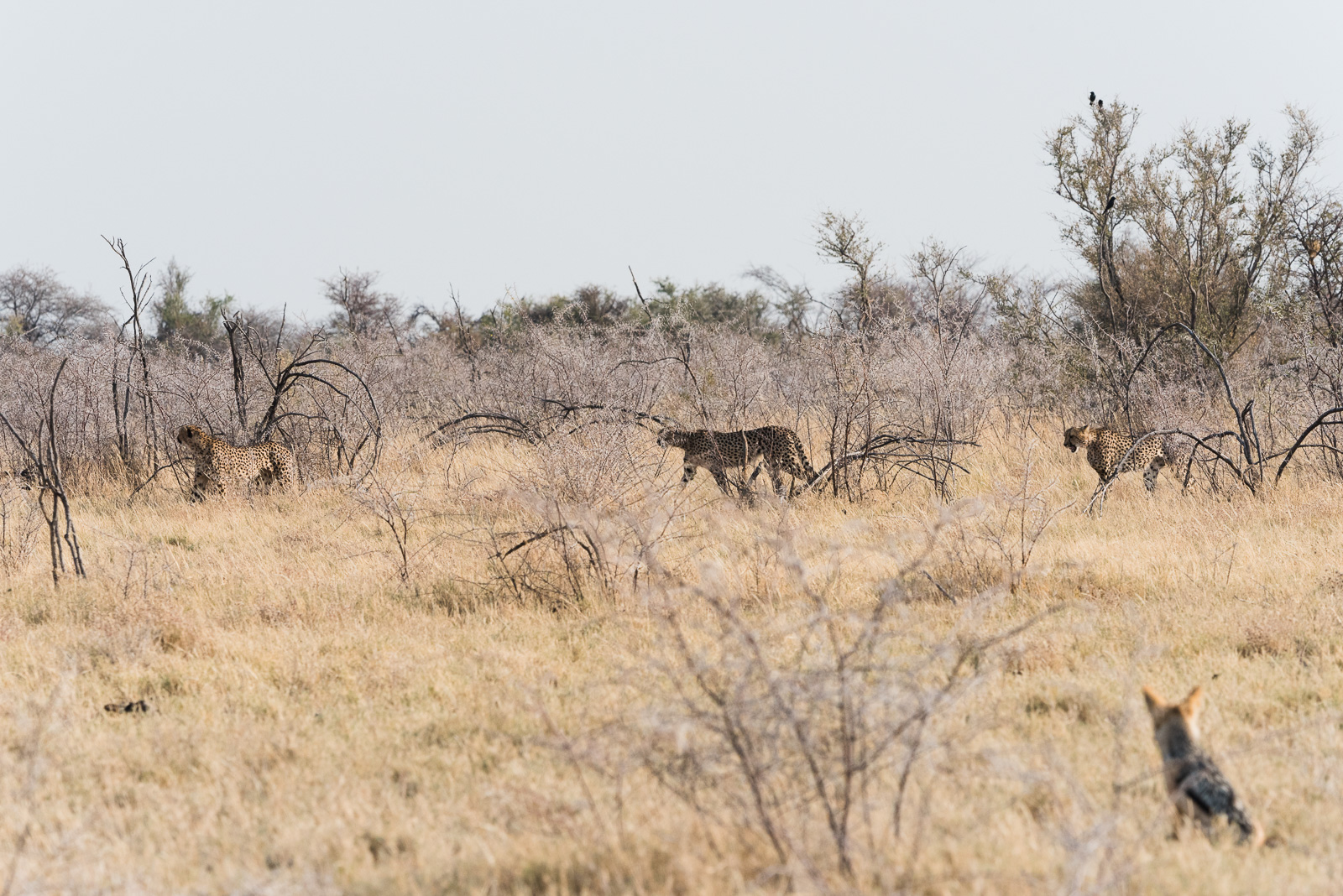 Coalition of three male cheetahs stalking prey as young jackal watches from a safe distance