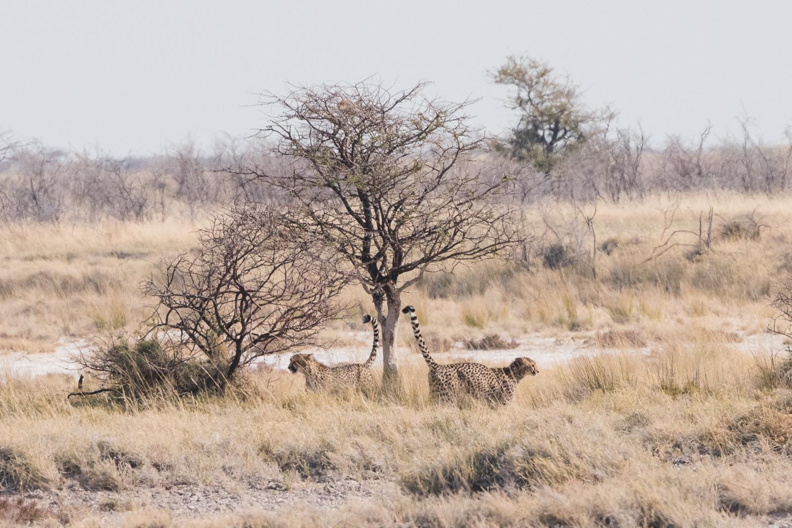 Cheetahs marking a play tree, Etosha National Park, Namibia