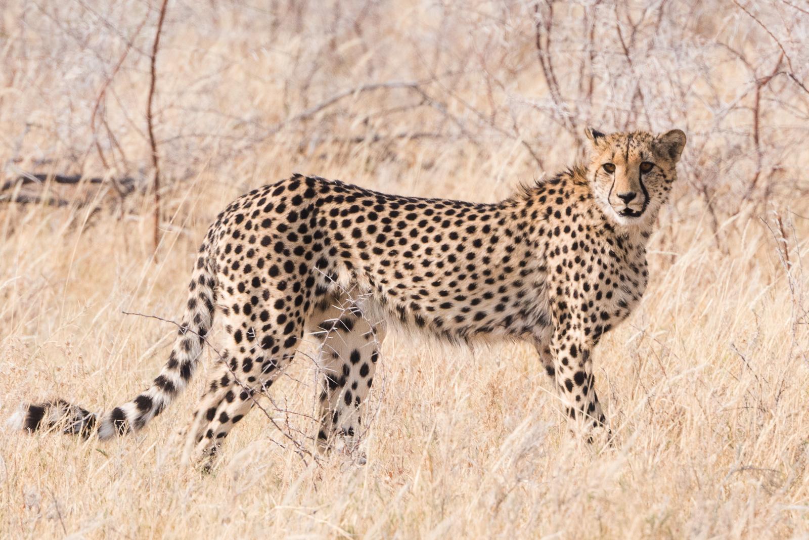 Wild Cheetah Portrait