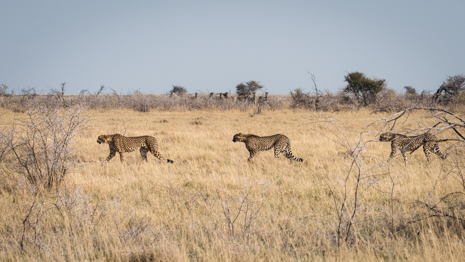 Zebra watch from safe distance as coalition of three male cheetahs leave after unsuccessful hunt