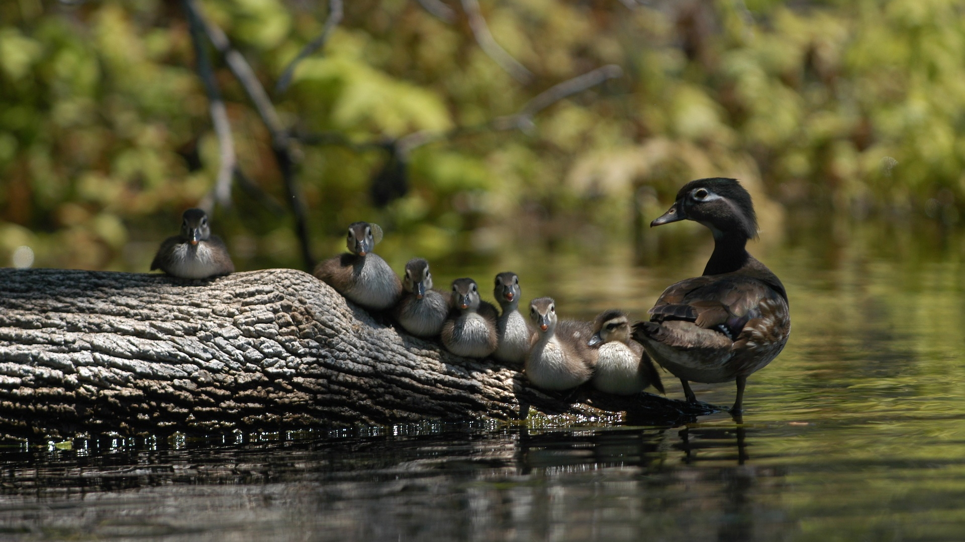 Wood Duck Mother and Chicks