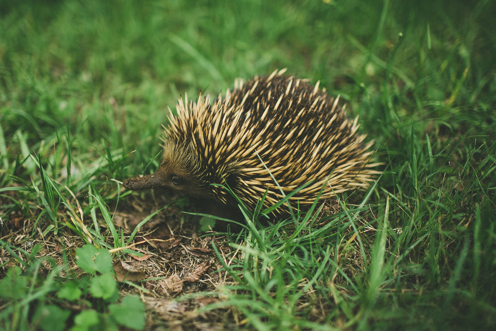 a wild echidna my mum spotted. it kept shyly digging it's face into the dirt and peeking up at us for a few seconds before scurrying away.