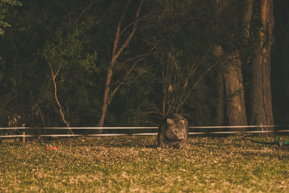 a wild wombat that came out to say hello during a wedding we were photographing.